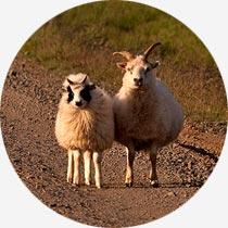 2 Isländische Schafe