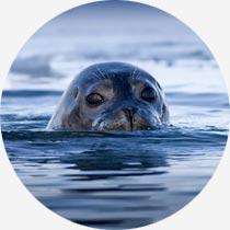 Isländischer Seehund