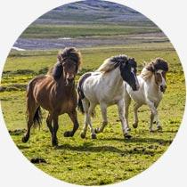 Islandreisen Islandpferde im Schnee