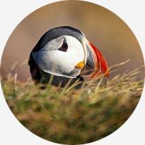 Papageitaucher auf Island