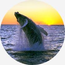 Island Reykjavík-Urlaub Whale Watching Buckelwal