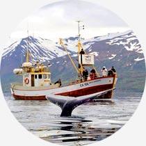 Islandreisen Whale-Watching-Boot vor Húsavík