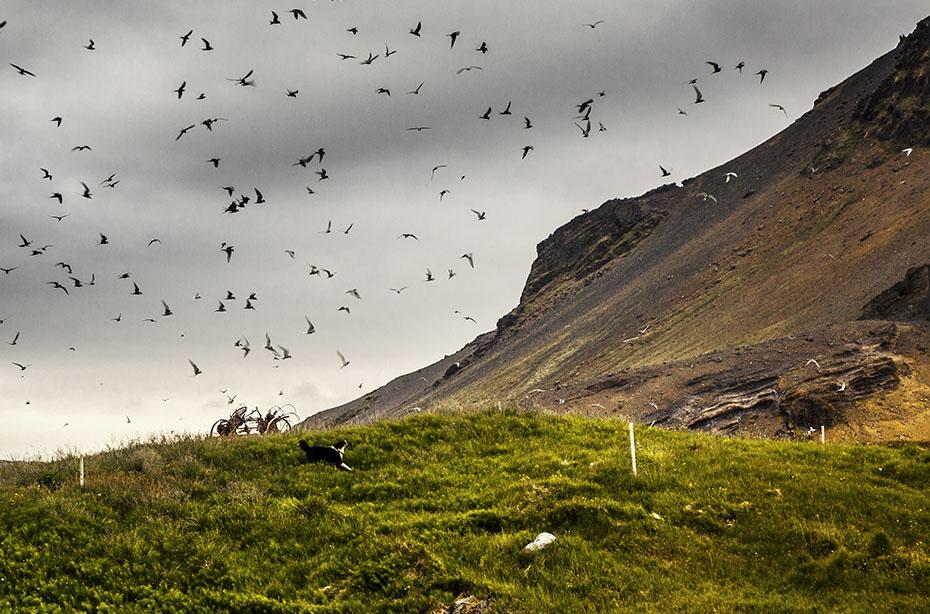 Küstenseeschwalben in Arnarstapi