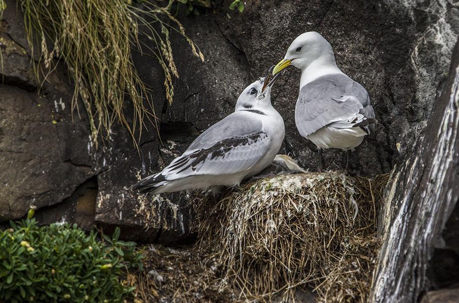 Möwen am Vogelfelsen von Hafnarhólmi