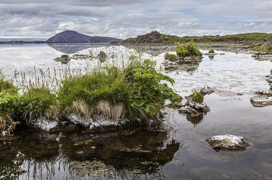 Island-Reisen Pflanzeninseln im Mývatn