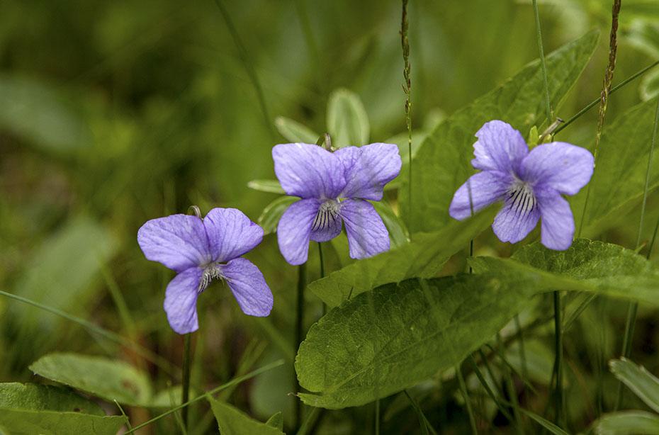 Islands Vegetation: violette Blumen