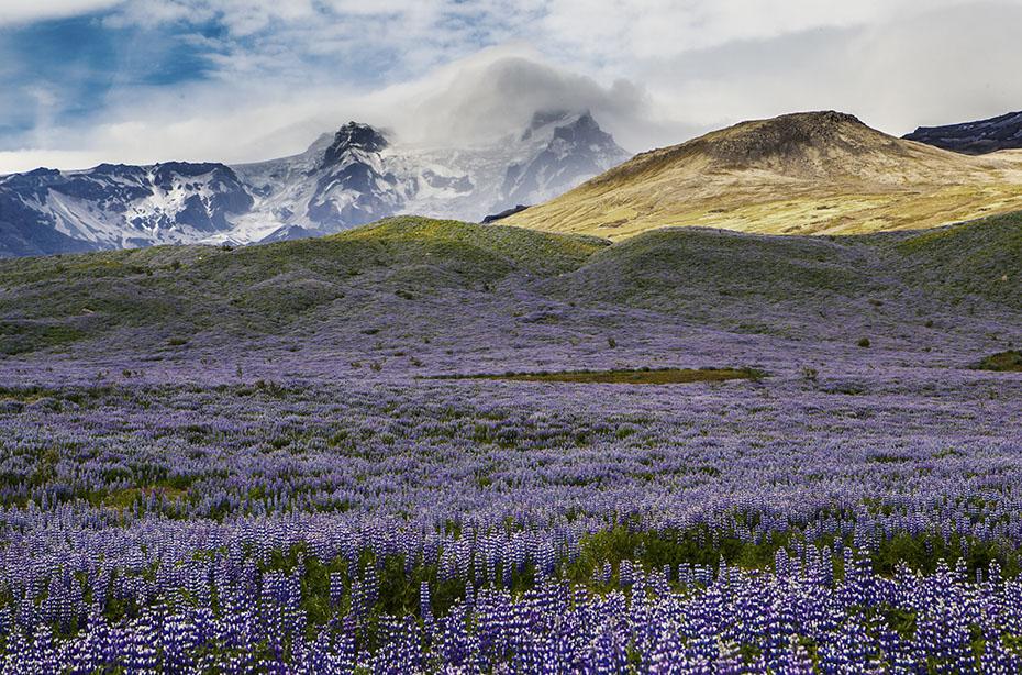 Islands Vegetation: Alaska-Lupinen