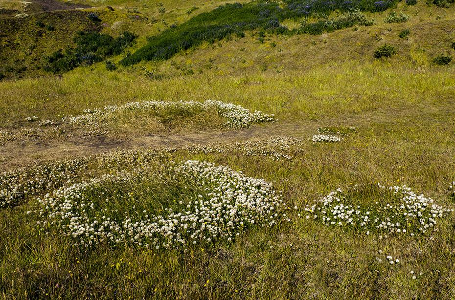 Islands Vegetation: Hexenringe auf den Westmännerinseln