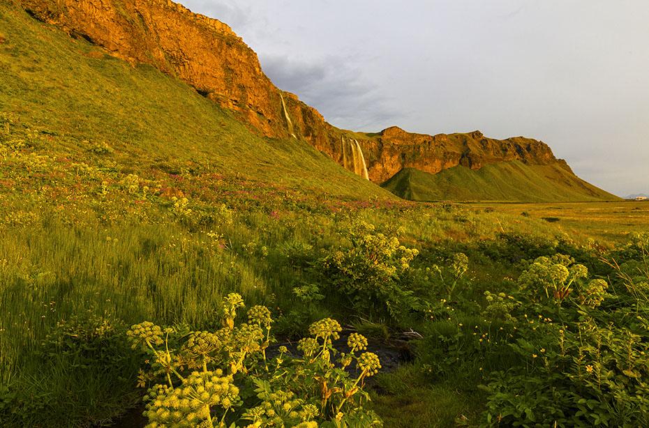 Engelswurz am Wasserfall Seljalandsfoss