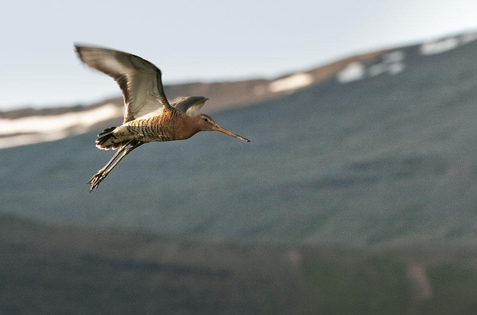 Islands Tierwelt: Uferschnepfe im Flug