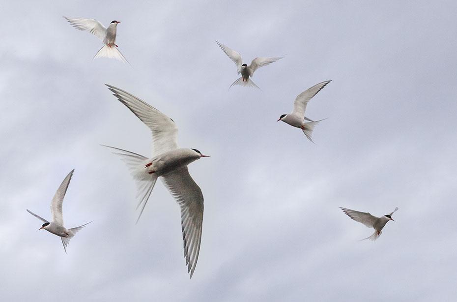 Islands Tierwelt: Küstenseeschwalben