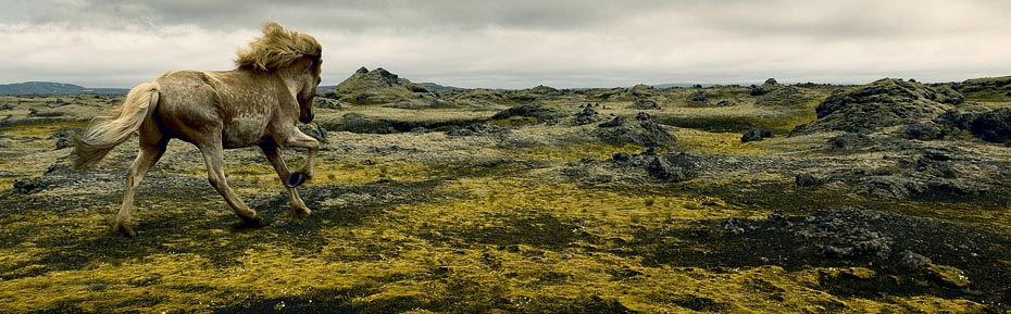 Islandpferd im Lavafeld
