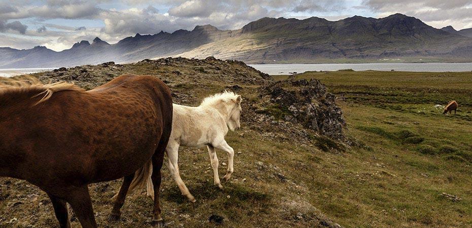Islandpferde in der Landschaft