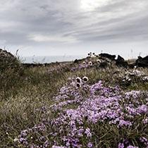 Blumen auf Island