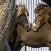 Islandpferde auf einem Pferdehof