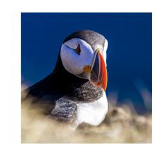 Islandreisen individuell Papageitaucher
