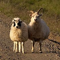 Islands Tierwelt: zwei Schafe