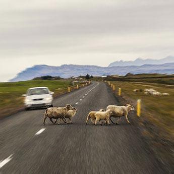 Schafe haben immer Vorfahrt
