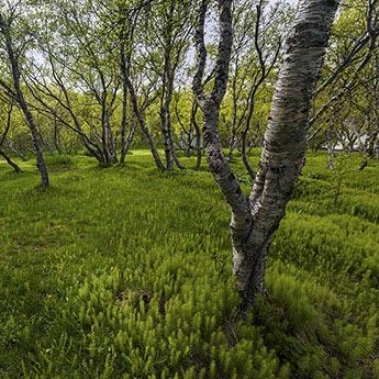 Hallormsstaðaskógur in Adlavik bei Egilsstadir