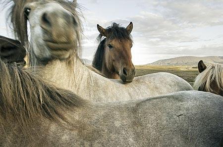 Islandpferde sind neugierig