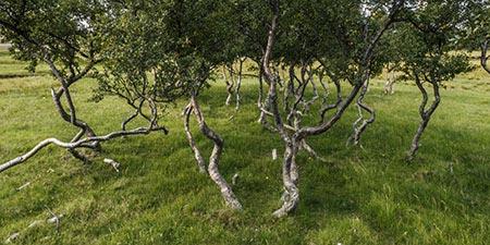 Islands Vegetation: Zwergbirken