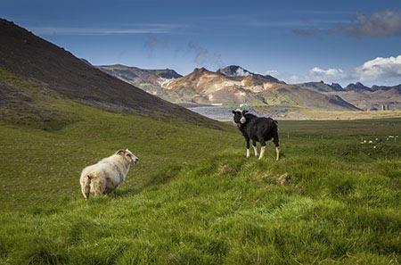 Schafe bei Krýsuvík auf Reykjanes