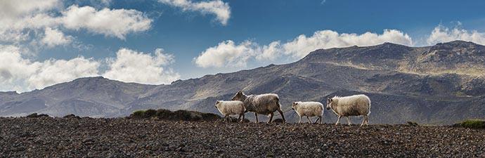 Schafe auf der Halbinsel Reykjanes