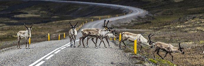 Islands Tierwelt: Rentiere