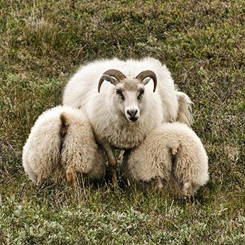 Islands Tierwelt: Mutterschaf mit zwei Lämmern