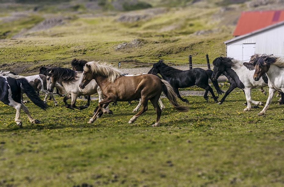 Islandpferde sind kraftvoll