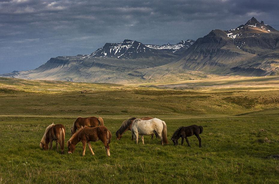Islandpferde auf der Weide