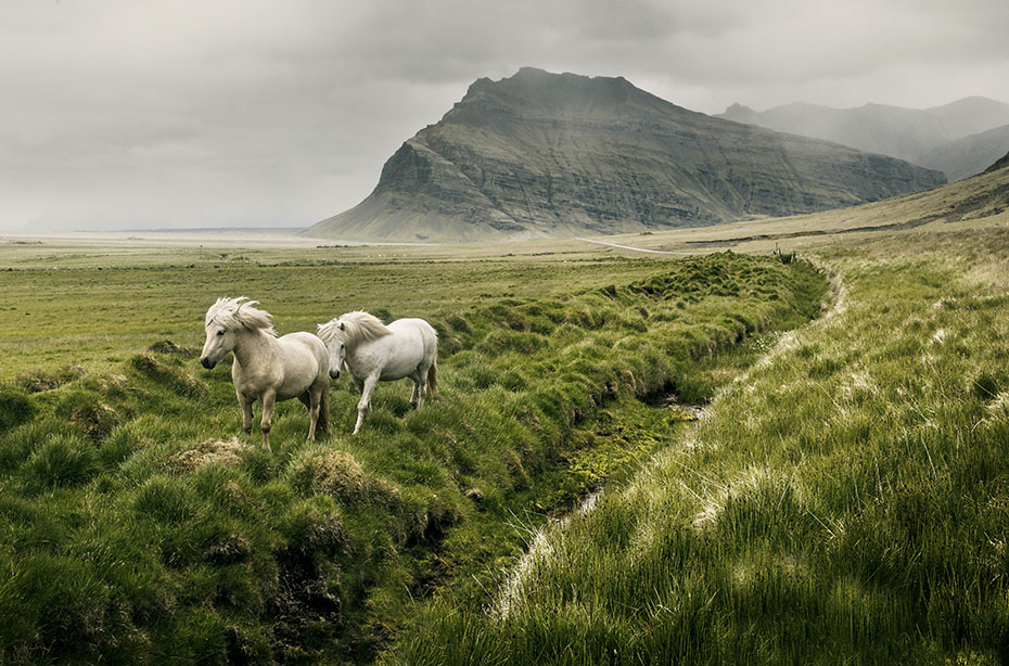 zwei weiße Islandpferde