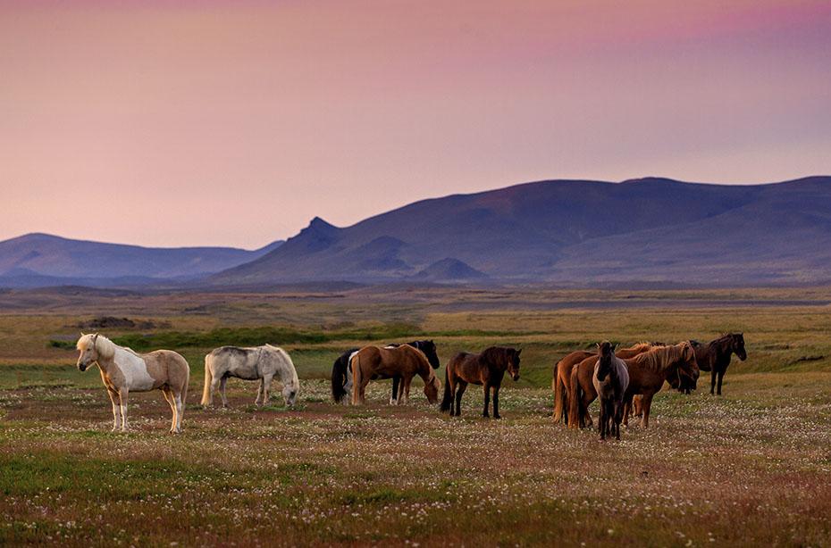 Islandpferde im Abendlicht