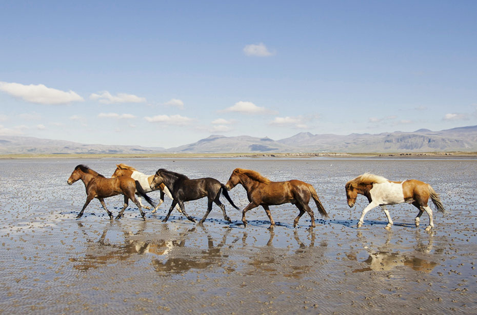 Pferde am Strand der Halbinsel Snæfellsnes