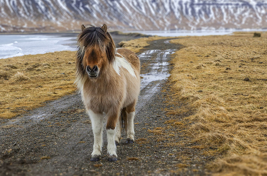 Westfjorde & Hochland: Islandpferd im Winterfell