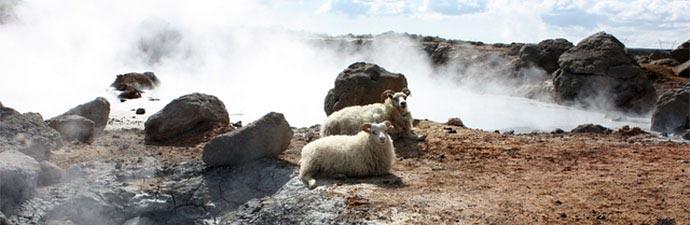 Wandern wie die Wikinger: Schafe vor Geothermalfeld