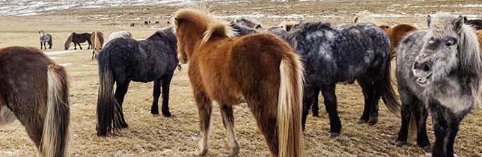Island Exkursion im Herbst: Islandpferde