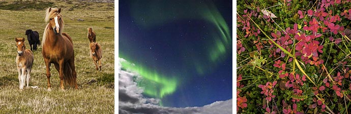Islandpferde Polarlichter Herbstfarben